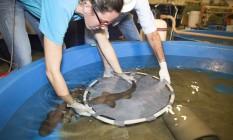 Bióloga transfere tubarão para tanque de qua Foto: O Globo / Antônio Scorza