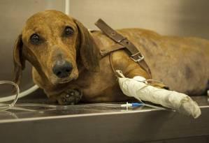 Cachorro recebe soro em tratamento prestado na sede da entidade, no bairro de Benfica Foto: Hermes de Paula / Agência O Globo