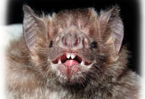 Morcegos hematófagos, como o da imagem, são apontados como responsáveis pela disseminação de doenças pela Amazônia brasileira nos últimos anos Foto: Divulgação