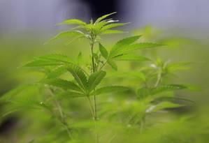 Registro é uma peça-chave na implementação da lei de regulação da cannabis aprovada em 2013 Foto: Arquivo