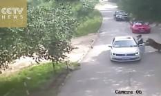 Imagens mostram ataque de um tigre no parque de Pequim Foto: Reprodução Twitter