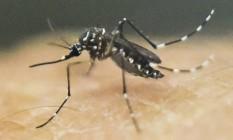 Mosquito Aedes aegypti: vacina contra a dengue já está liberada para clínicas no Brasil Foto: Luis Robayo / AFP
