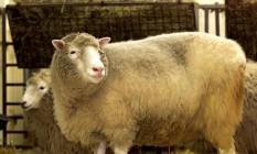 Ovelha Dolly morreu prematuramente em 2003 Foto: Jeff J Mitchell / Reuters
