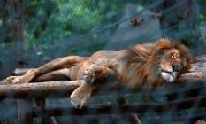 Leão dorme no zoológico de Caricuao, em Caracas: ração de carne foi reduzida; manga e abóbora no lugar Foto: CARLOS JASSO / REUTERS