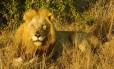 Leão no Parque Nacional Kruger, na África do Sul