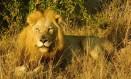 Leão no Parque Nacional Kruger, na África do Sul Foto: Ludmilla de Lima / O Globo