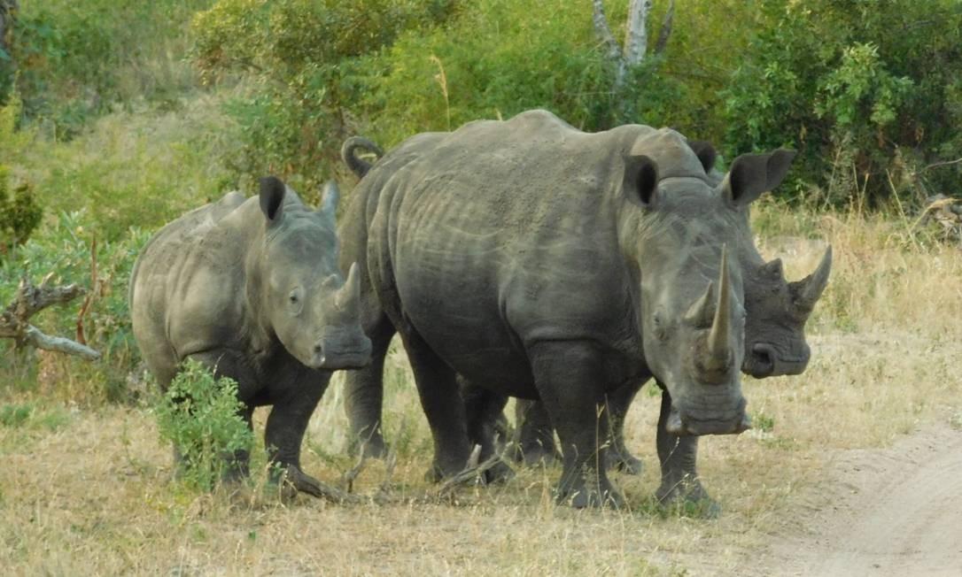 Família de rinocerontes na savana: animal é alvo de caçadores no Kruger Park Foto: Ludmilla de Lima / O Globo
