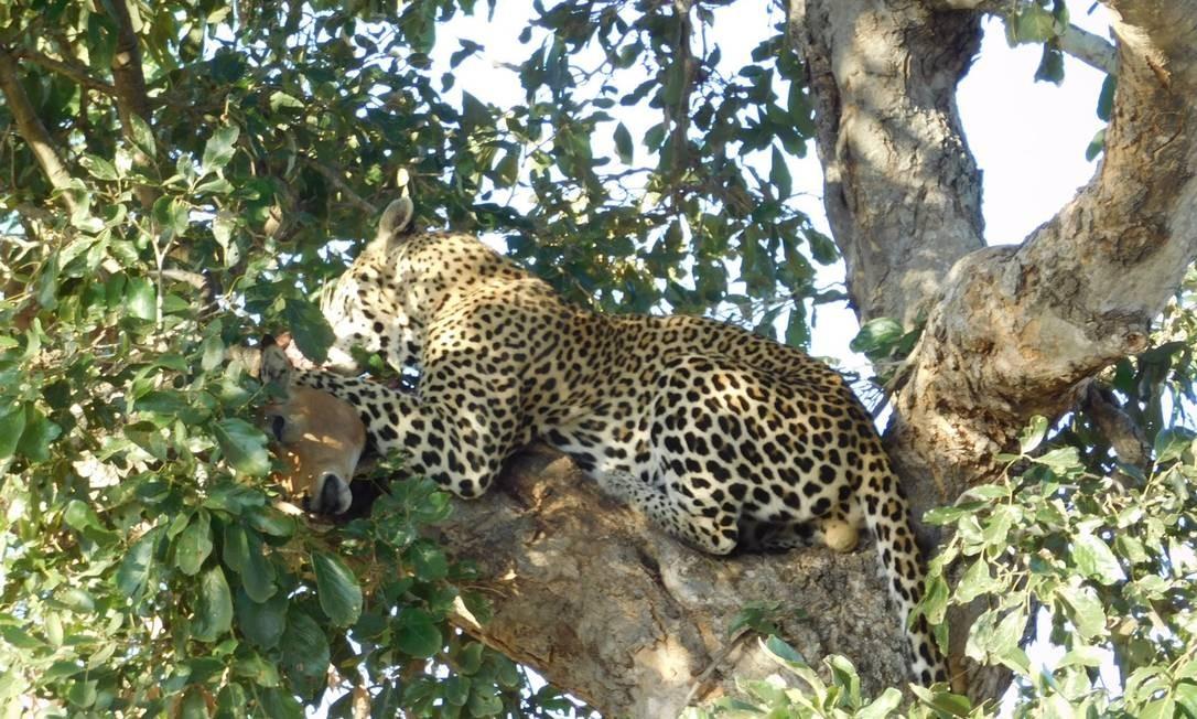 Um leopardo devora sua caça, um impala, sobre uma árvore em Sabi Sands: cena é uma das mais esperadas pelos turitas no safári Foto: Ludmilla de Lima / O Globo