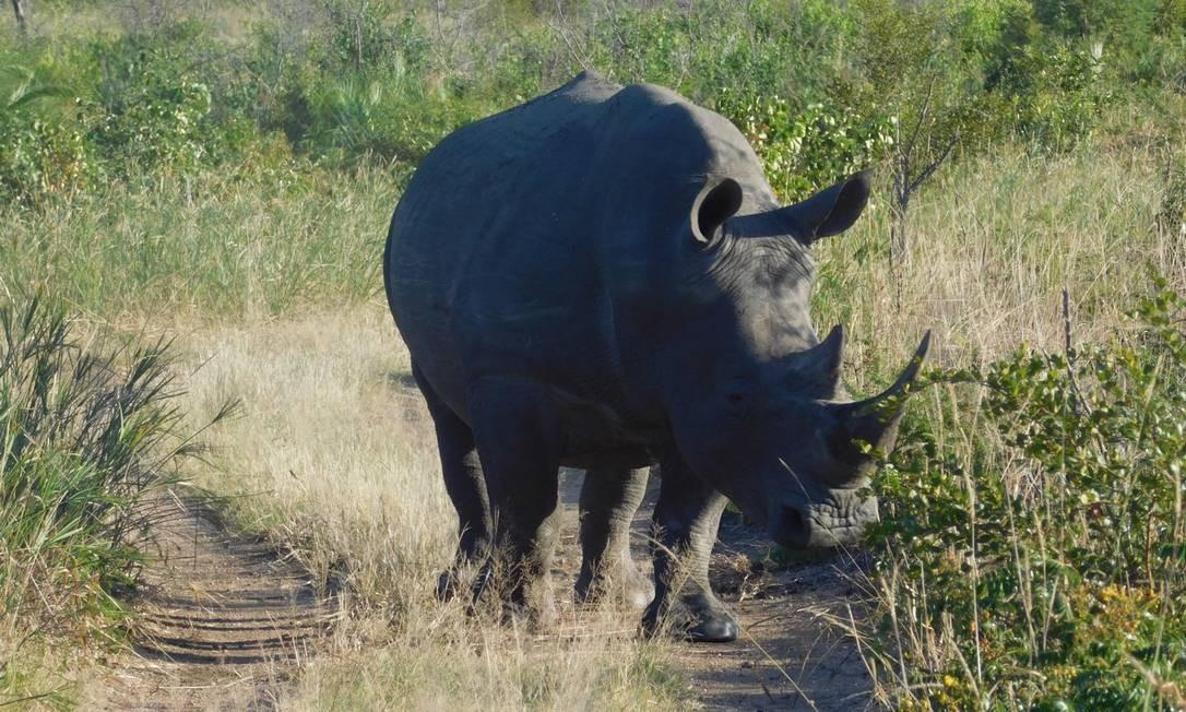 Rinoceronte no meio de uma das trilhas usadas durante os safáris Foto: Ludmilla de Lima / O Globo