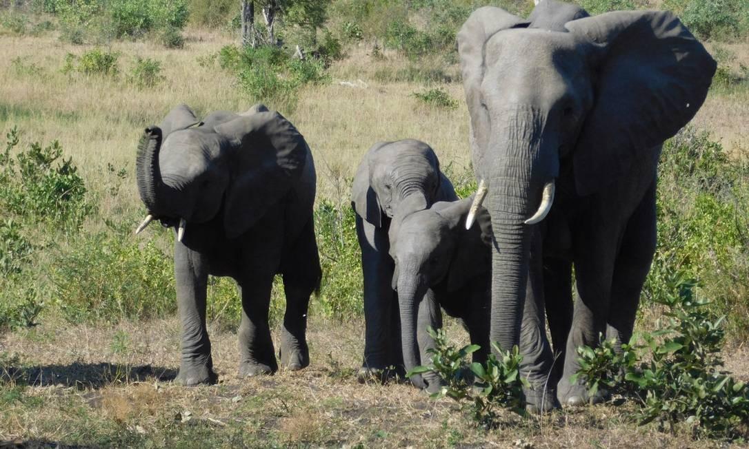 Uma família de elefantes na savana: animal é um dos Big five, os cinco mais perigosos do planeta Foto: Ludmilla de Lima / O Globo