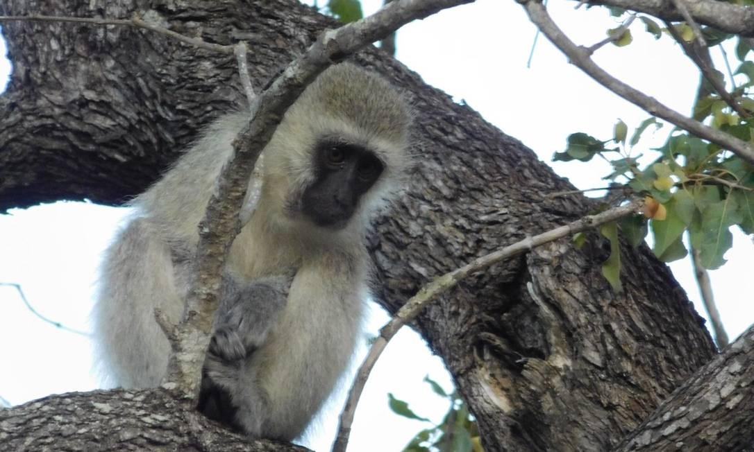 Macaco veludo é um dos animais vistos durante o safári em Sabi Sands Foto: Ludmilla de Lima / O Globo