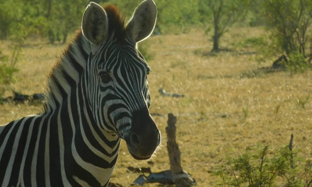 A elegânica da zebra Foto: Ludmilla de Lima / O Globo