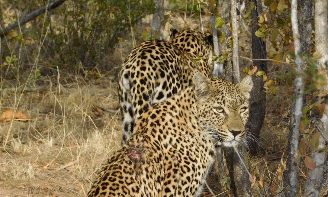Mãe e filhote de leopardo no meio da savana: um dos cinco animais considerados os mais perigosos Foto: Ludmilla de Lima / O Globo