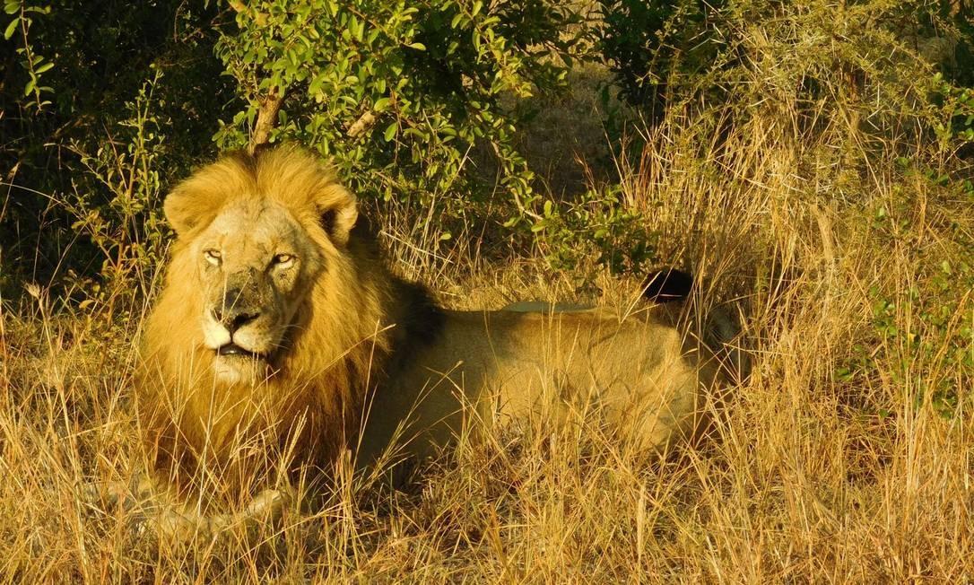 O leão é um dos bichos mais esperados pelos turistas durante o safári: sua cor se confunde com o dourado da savana nos primeiros raios da manhã Foto: Ludmilla de Lima / O Globo