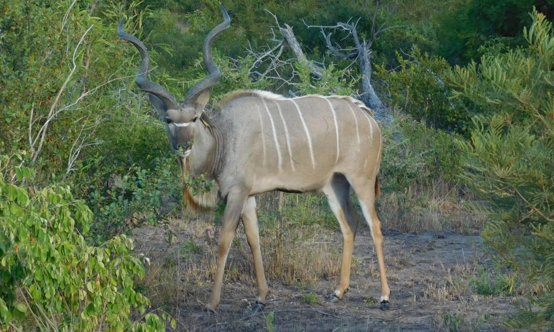 Animal solto em Sabi Sands: diversidade de espécies nos arreedores do Kruger Foto: Ludmilla de Lima / O Globo