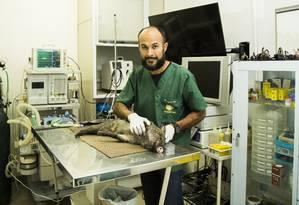 Jeferson Pires, veterinário responsável pelo atendimento, cuida de cateto, espécie de porco Foto: Bárbara Lopes / Agência O Globo