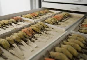 Estudo foi realizado com a coleção de Vermilion Flycatchers de Galápagos da Academia de Ciências da Califórnia, considerada a mais completa do mundo Foto: Jack Dumbacher and the California Academy of Sciences