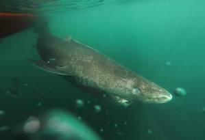 O tubarão da Groenlândia vive nas profundezas do Ártico e do Atlântico Norte Foto: Julius Nielsen