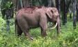 Raro elefante foi encontrado em uma plantação de palmeiras no estado de Sabá, na ilha de Bornéu