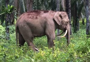 Raro elefante foi encontrado em uma plantação de palmeiras no estado de Sabá, na ilha de Bornéu Foto: SABAH WILDLIFE DEPARTMENT / AFP