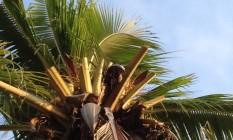 O coqueiro que foi podado Foto: Leitora Sandra Athayde Nascimento