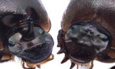 Imagem mostra dois besouros da mesma espécie, mas um deles com um olho no lugar do chifre Foto: Universidade de Indiana