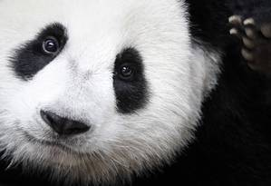 O panda gigante é um dos maiores ícones globais dos esforços de conservação Foto: Joshua Paul / AP