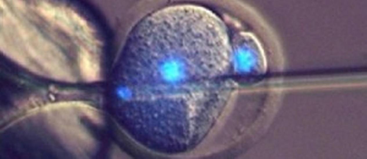 Pesquisadores introduziram espermatozoide em um partenoto, óvulo forçado a se desenvolver sem ser fertilizado e inviável, para produzir camundongos saudáveis Foto: Divulgação