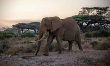 Um elefante no Parque Nacional de Amboseli, no Quênia Foto: Julian Blanc / Divulgação