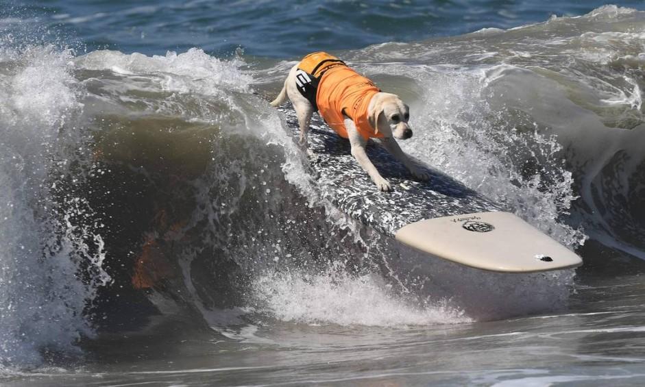 """O labrador Haole se equilibra na prancha no oitavo campeonato anual """"Surf City Dog Surf"""", em Huntington Beach, na Califórnia Foto: MARK RALSTON / AFP"""
