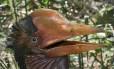 No Brasil, o Rhinoplax vigil é conhecido como calau-de-capacete