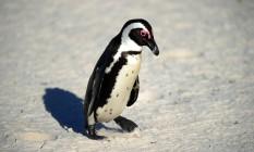 Exemplar de pinguim africano, a mesma de Buddy, que foi levado de um parque na África do Sul Foto: JEWEL SAMAD / AFP