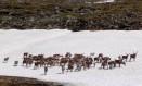 Humanos podem ser infectados pelo antraz pela ingestão de carne de renas doentes Foto: Bjørn Christian Tørrissen / WIKIPEDIA