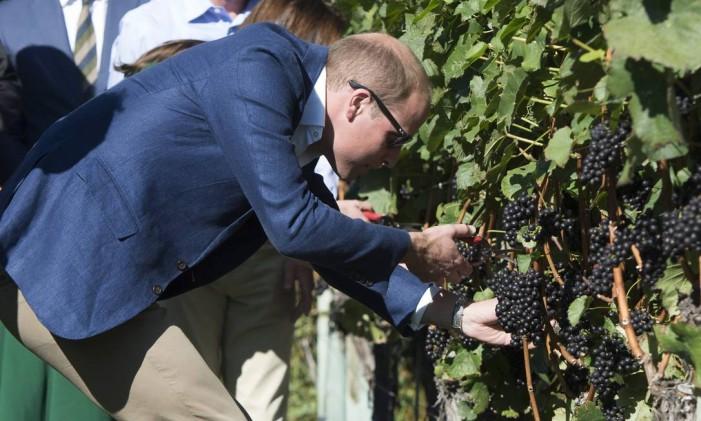 Príncipe William colhe uvas na vinícola Mission Hill, em Kelowna, British Columbia Foto: Jonathan Hayward / The Canadian Press via AP