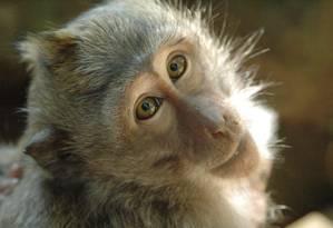 Pesquisa foi realizada com macacos da espécie 'Macaca fascicularis' Foto: Creative Commons