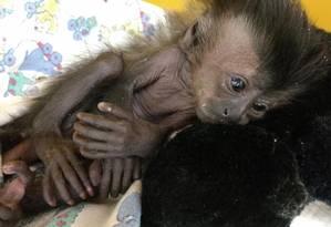 A filhote de macaco-prego resgatada na segunda pela artista Isadora Medella Foto: Reprodução / Facebook