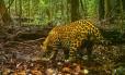 Animais terrestres, como a onça pintada, foram menos impactadas pela caça comercial do século XX