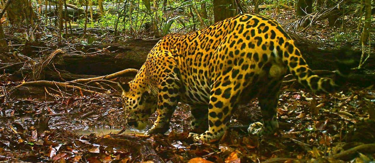 Animais terrestres, como a onça pintada, foram menos impactadas pela caça comercial do século XX Foto: Grupo Indígena Paumari, André Pinassi Antunes e Eduardo Von Muhlen