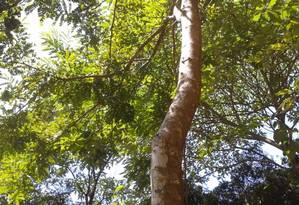 Exemplar de pau-brasil Foto: Reprodução/Wikimedia