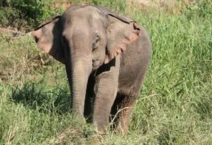 Elefante sofre maus tratos em diversos países Foto: Divulgação/ World Animal Protection