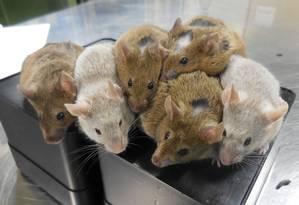 Seis dos camundongos nascidos a partir dos óvulos criados totalmente na bancada do laboratório Foto: Katsuhiko Hayashi/Universidade de Kyushu