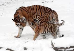 O tigre está entre as espécies ameaçadas de extinção por causa da carne e da pele Foto: WIKIPEDIA