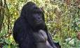 Esta foto de agosto de 2015 mostra um gorila de grauer macho na floresta da República Democrática do Congo