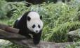 Panda Foto: REUTERS/ HANDOUT