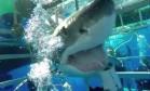 Tubarão fica preso em gaiola e corta suprimento de ar de mergulhadores Foto: Reprodução/YouTube