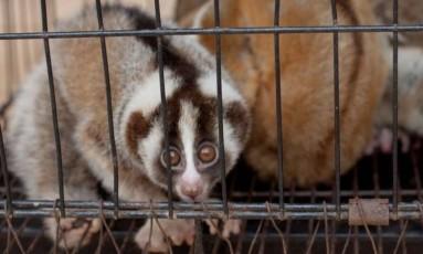 Lóris Foto: Divulgação/ Resgate internacional de Animais