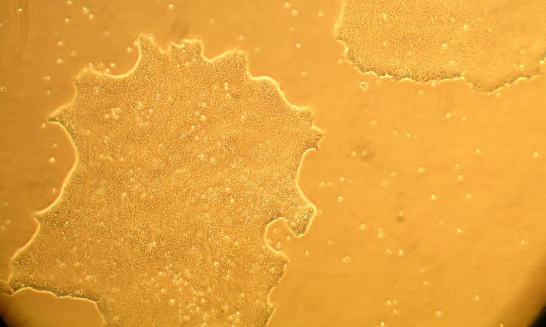 Imagem da primeira linhagem de células-tronco embrionárias humanas 100% nacionais, também produzidas pelo grupo de Lygia Pereira, da USP, em 2008 Foto: / Divulgação
