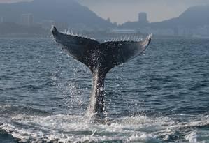 Baleia jubarte passa pela costa do Rio rumo a Abrolhos, na Bahia Foto: Liliane Lodi / Reprodução
