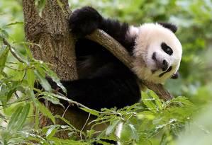 Entre os vertebrados terrestres, como o urso panda, a redução das populações selvagens foi de 38% Foto: MANDEL NGAN / AFP