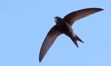 Andorinhão preto voa por 10 meses a fio sem nunca pousar Foto: Wikimedia